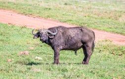 Αφρικανικά Buffalo Στοκ Φωτογραφίες