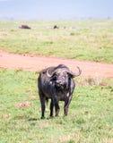 Αφρικανικά Buffalo Στοκ Εικόνες