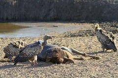 Αφρικανικά deathbirds Στοκ Εικόνες