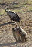 Αφρικανικά deathbirds Στοκ εικόνα με δικαίωμα ελεύθερης χρήσης