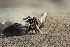Αφρικανικά deathbirds Στοκ εικόνες με δικαίωμα ελεύθερης χρήσης