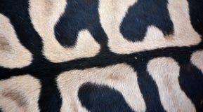 Αφρικανικά equids δερμάτων Zebras στοκ φωτογραφίες με δικαίωμα ελεύθερης χρήσης