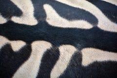Αφρικανικά equids δερμάτων Zebras στοκ φωτογραφίες