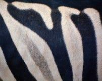 Αφρικανικά equids δερμάτων Zebras στοκ εικόνες με δικαίωμα ελεύθερης χρήσης