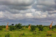 Αφρικανικά giraffes στο masai mara Κένυα στοκ εικόνα