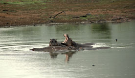 αφρικανικά hippos Στοκ φωτογραφία με δικαίωμα ελεύθερης χρήσης