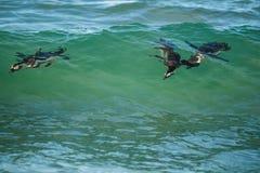 Αφρικανικά penguins που κολυμπούν στο ωκεάνιο κύμα Στοκ Εικόνες
