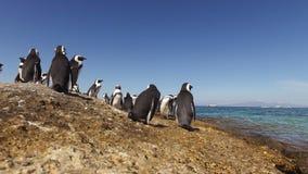 Αφρικανικά penguins στους παράκτιους βράχους απόθεμα βίντεο