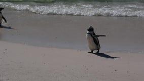 Αφρικανικά penguins φιλμ μικρού μήκους