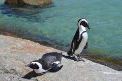 Αφρικανικά penguins Στοκ Εικόνα