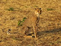 αφρικανικές άγρια περιοχές πορτρέτου τσιτάχ Στοκ Φωτογραφίες