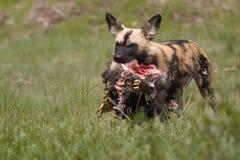 αφρικανικές άγρια περιοχές σκυλιών στοκ φωτογραφία με δικαίωμα ελεύθερης χρήσης