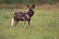 αφρικανικές άγρια περιοχές σκυλιών Στοκ Εικόνα
