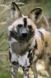 αφρικανικές άγρια περιοχές σκυλιών Στοκ Φωτογραφίες