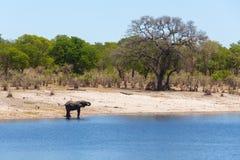 Αφρικανικές άγρια φύση και αγριότητα σαφάρι της Αφρικής ελεφάντων Στοκ εικόνες με δικαίωμα ελεύθερης χρήσης