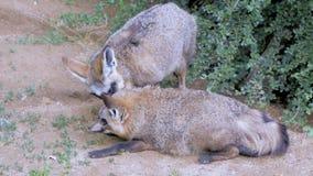 Αφρικανικές αλεπούδες απόθεμα βίντεο