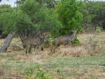 Αφρικανικές αντιλόπες, μεγαλύτερο Kudu, Μποτσουάνα στοκ εικόνες με δικαίωμα ελεύθερης χρήσης