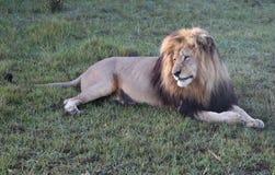αφρικανικές αρσενικές άγρια περιοχές λιονταριών Στοκ Φωτογραφία