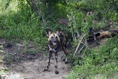 αφρικανικές σκυλιών εθν&io Στοκ φωτογραφία με δικαίωμα ελεύθερης χρήσης