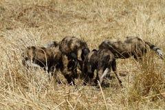 Αφρικανική άγρια σίτιση πακέτων σκυλιών Στοκ φωτογραφία με δικαίωμα ελεύθερης χρήσης