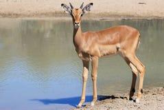 Αφρικανική άγρια φύση - Impala - αντανάκλαση κριού Στοκ Φωτογραφία