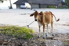 αφρικανική αγελάδα Στοκ Φωτογραφίες