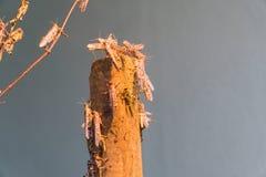 αφρικανική ακρίδα ερήμων Στοκ φωτογραφίες με δικαίωμα ελεύθερης χρήσης