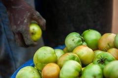Αφρικανική βιομηχανία ντοματών αγροτών επιλέγοντας Στοκ Φωτογραφία