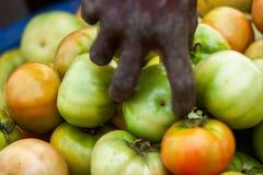 Αφρικανική βιομηχανία ντοματών αγροτών επιλέγοντας Στοκ Εικόνες
