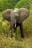 Αφρικανική βοσκή ελεφάντων στο Μπους στοκ φωτογραφίες