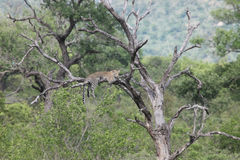Αφρικανική λεοπάρδαλη στο δέντρο Πάρκο Kruger, Στοκ Φωτογραφίες