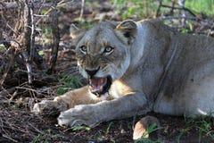 Αφρικανική επιθετικότητα λιονταρινών Στοκ Φωτογραφίες