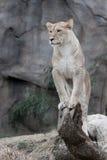 αφρικανική λιονταρίνα Στοκ φωτογραφία με δικαίωμα ελεύθερης χρήσης