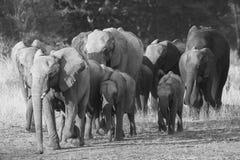 Αφρικανική κατανάλωση μόσχων ελεφάντων Στοκ Εικόνα