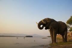 Αφρικανική κατανάλωση ταύρων ελεφάντων στο Ζαμβέζη rive Στοκ Εικόνες