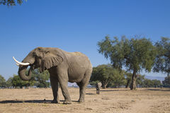 Αφρικανική κατανάλωση ταύρων ελεφάντων Στοκ Φωτογραφίες