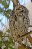 Αφρικανική κουκουβάγια scops (senegalensis Otus) Στοκ Φωτογραφία