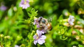 Αφρικανική μέλισσα στο πορφυρό λουλούδι που ψάχνει το νέκταρ Στοκ Φωτογραφίες