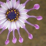 Αφρικανική μακροεντολή λουλουδιών της Daisy σβουρών στοκ εικόνα με δικαίωμα ελεύθερης χρήσης