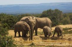 Αφρικανική οικογένεια ελεφάντων στο waterhole Στοκ Εικόνες