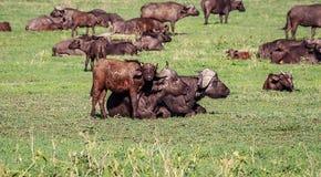 Αφρικανική οικογένεια Buffalo, Τανζανία Στοκ φωτογραφία με δικαίωμα ελεύθερης χρήσης