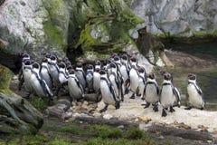 Αφρικανική ομάδα penguin Στοκ Εικόνες