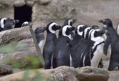 αφρικανική ομάδα penguins Στοκ φωτογραφία με δικαίωμα ελεύθερης χρήσης