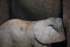 Αφρικανική σίτιση ελεφάντων μωρών Στοκ Φωτογραφίες