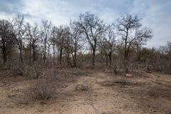 Αφρικανική σαβάνα ξηρασίας με τα νεκρά δέντρα, Kruger, Νότια Αφρική στοκ φωτογραφίες