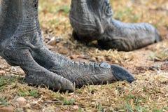 Αφρικανική στρουθοκάμηλος ποδιών Το πόδι του πουλιού Στοκ φωτογραφία με δικαίωμα ελεύθερης χρήσης