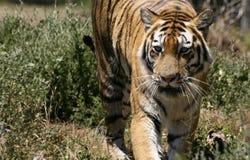 Αφρικανική τίγρη που περπατά στο θάμνο Στοκ εικόνα με δικαίωμα ελεύθερης χρήσης