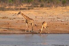 αφρικανική giraffes σαβάνα στοκ εικόνα με δικαίωμα ελεύθερης χρήσης