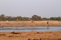 αφρικανική giraffes σαβάνα στοκ εικόνες