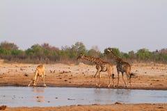 αφρικανική giraffes σαβάνα στοκ εικόνες με δικαίωμα ελεύθερης χρήσης